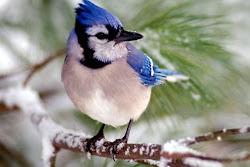 Pasarea albastra!!!