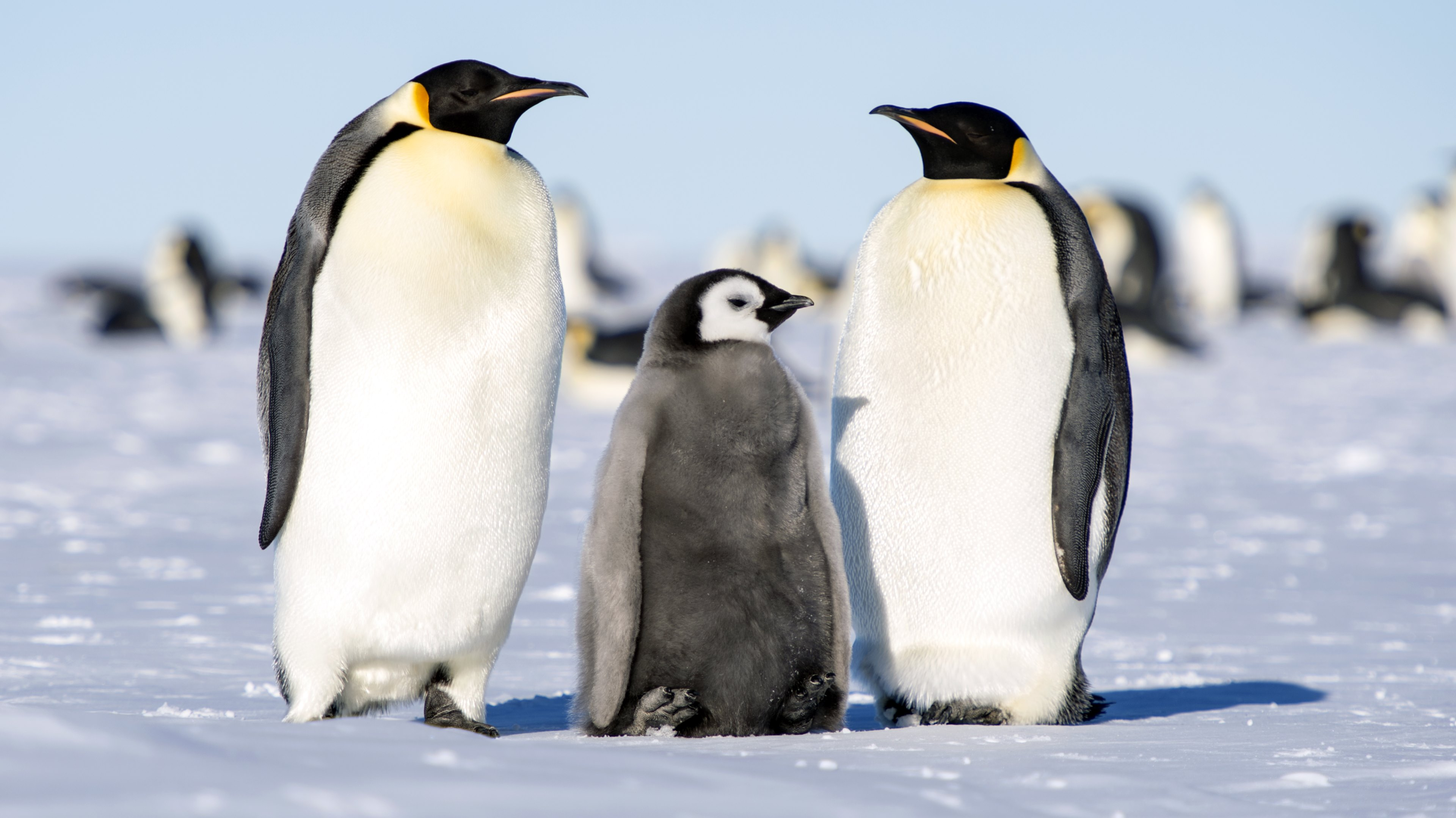 Antarctica - Simple English Wikipedia, the free encyclopedia Pictures of animals found in antarctica