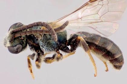 Lebah Aneh Yang Suka Mengincar Keringat Manusia