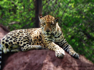 Male Jaguar with innocent look on face