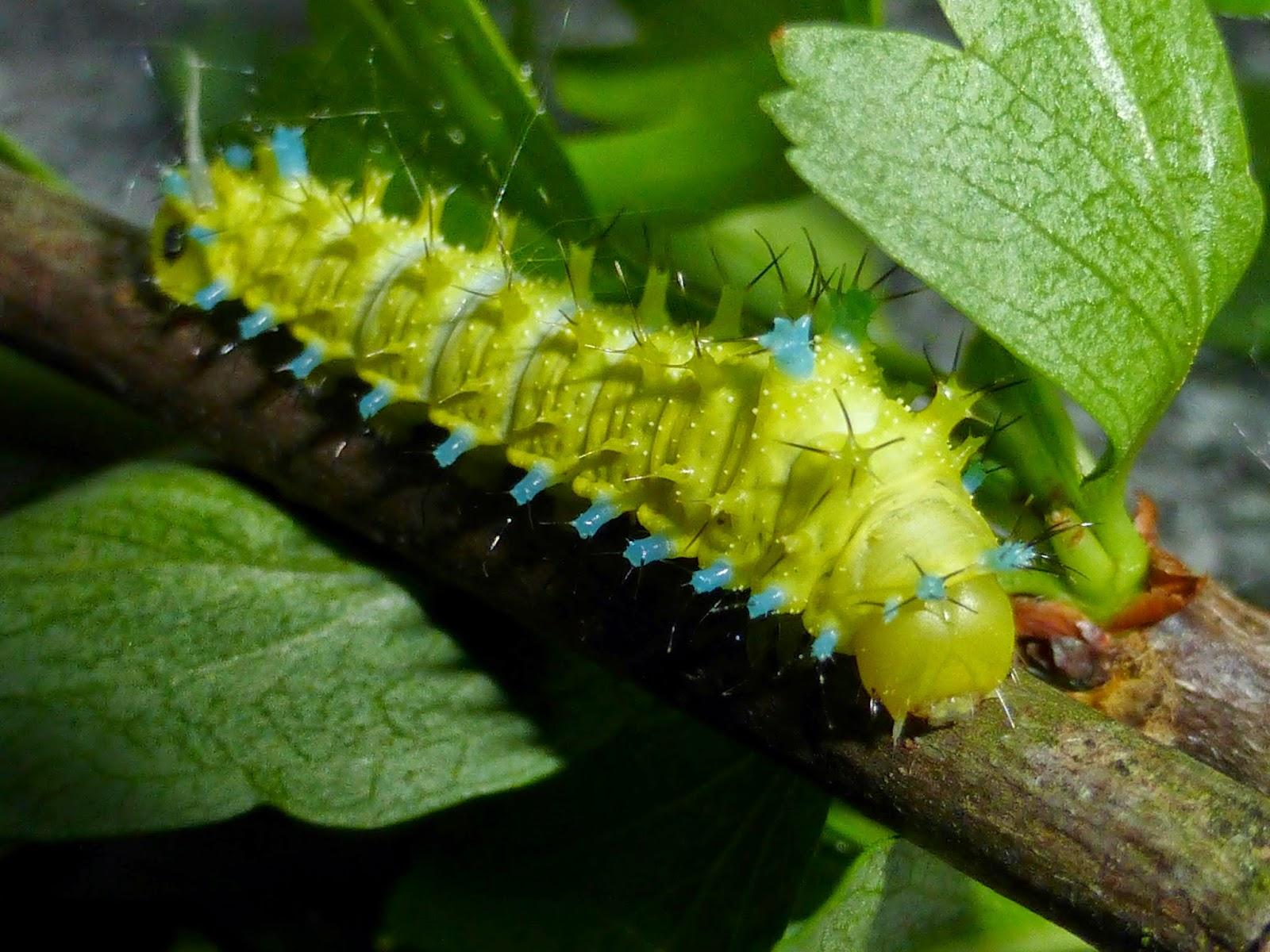 Rhodinia grigauti L3 caterpillar