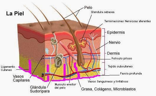 Estructura y función de la piel