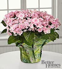 The FTD Pleasing in Pink Angel Parasol Hydrangea by Better Homes and Gardens