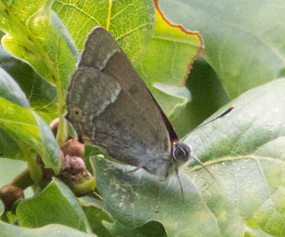 Purple Hairstreak butterfly, Neozephyrus quercus, in an oak tree.  Butterfly walk in Jubilee Country Park, Sunday 17th July 2011.