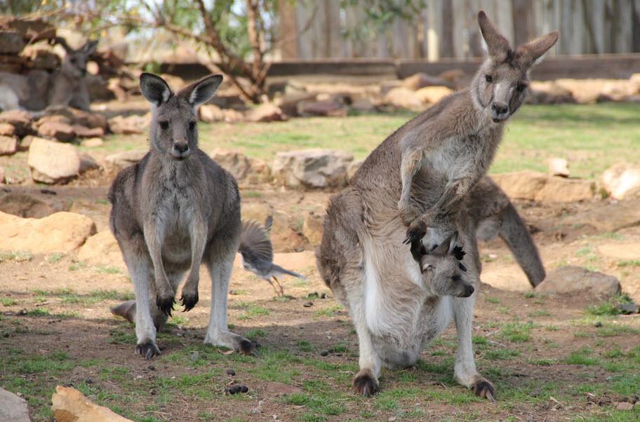 Big Red Kangaroo Size