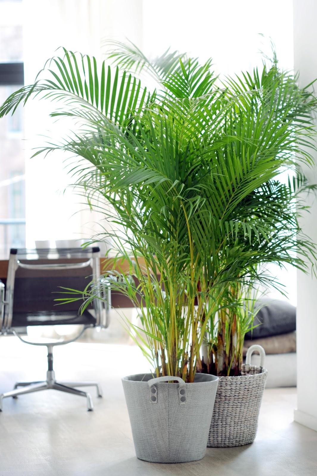 De la palma la areca - Planta interior palmera ...