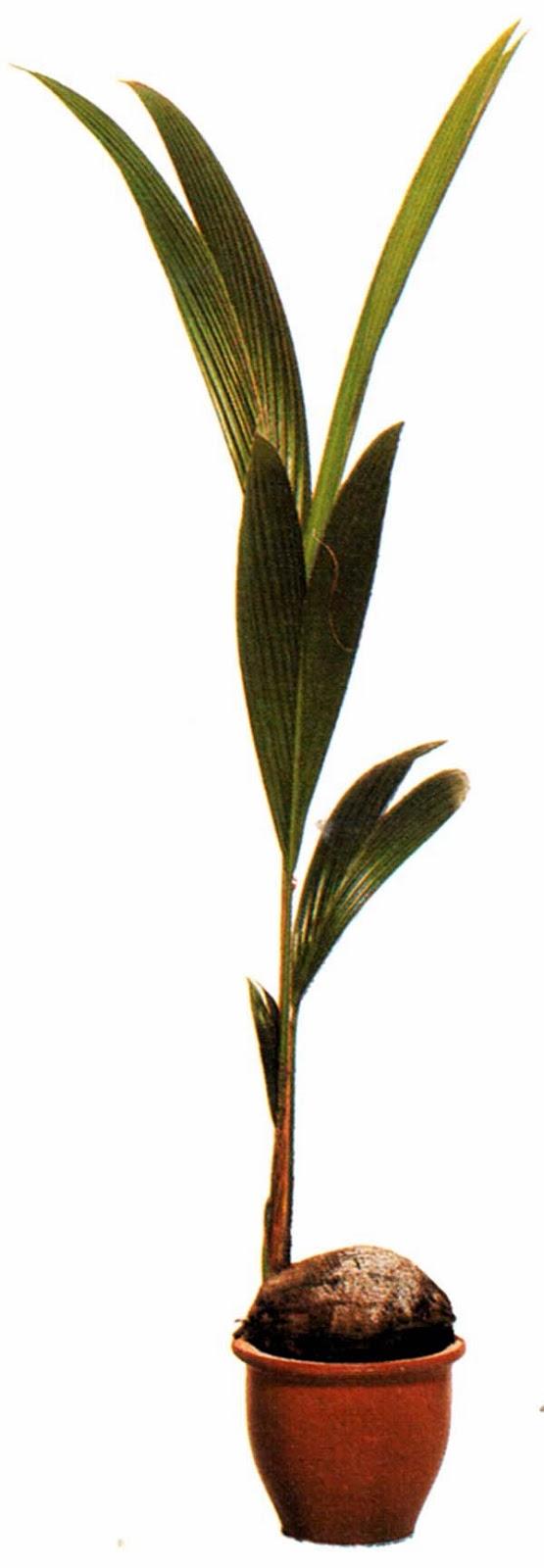 Кокос Ведделя
