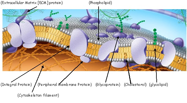 Cell membrane with labels pointing to Integral Protein, Cytoskeleton filament, Peripheral membrane protein, glycoprotein, Cholesterol, Glycolipid, Extracellular Matrix, and phosopholipid