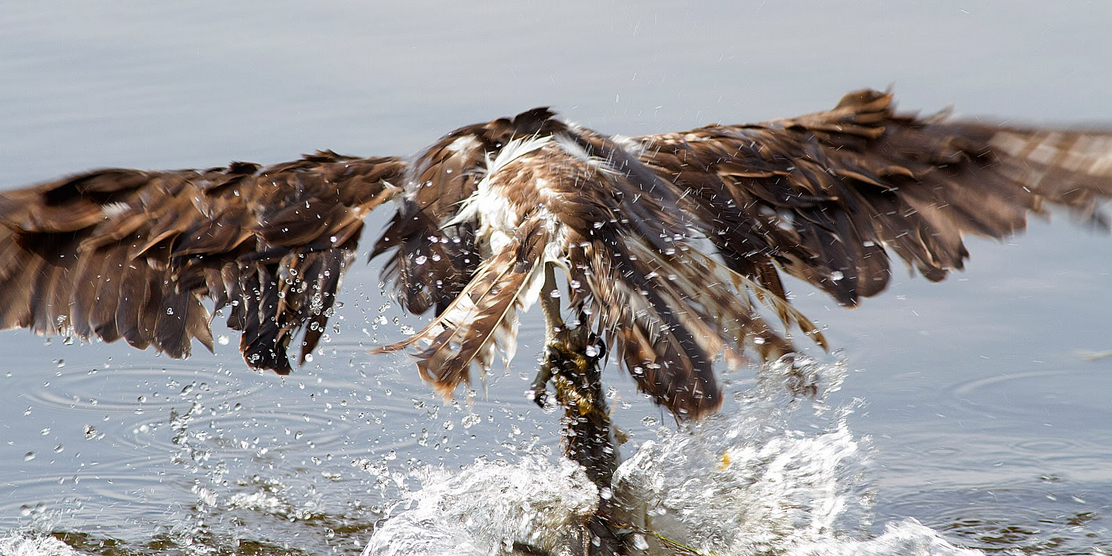 Ann brokelman photography osprey and the fish florida 2014 for Can fish see water