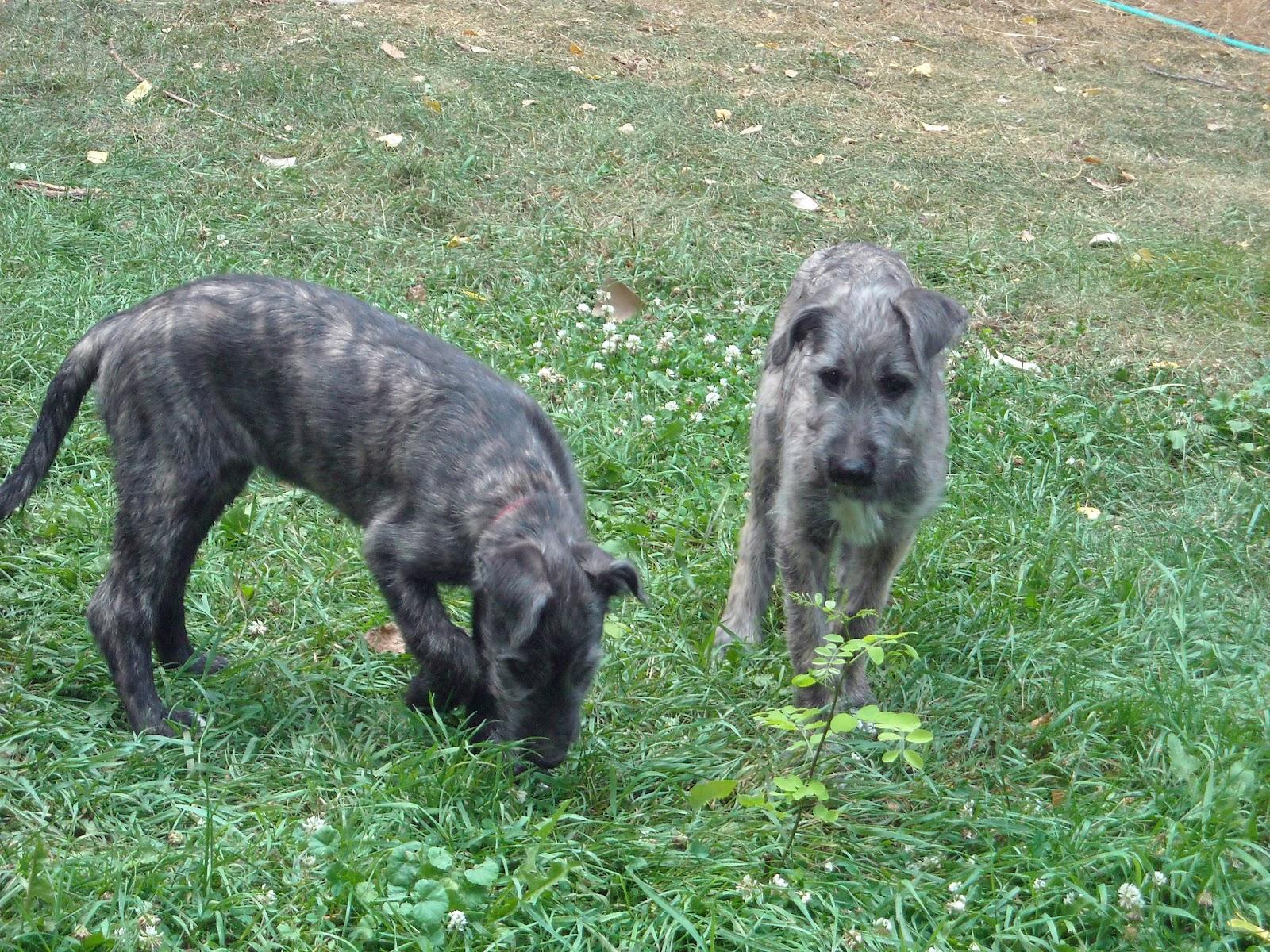 Red irish wolfhound puppies - photo#6