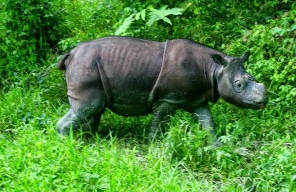 Bornean Rhino
