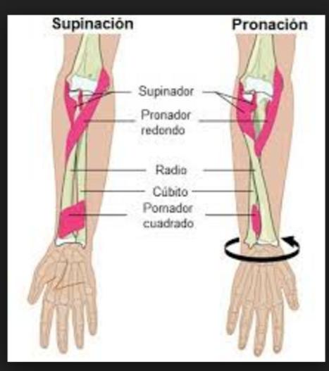 Anatomía Aplicada: pronación supinación