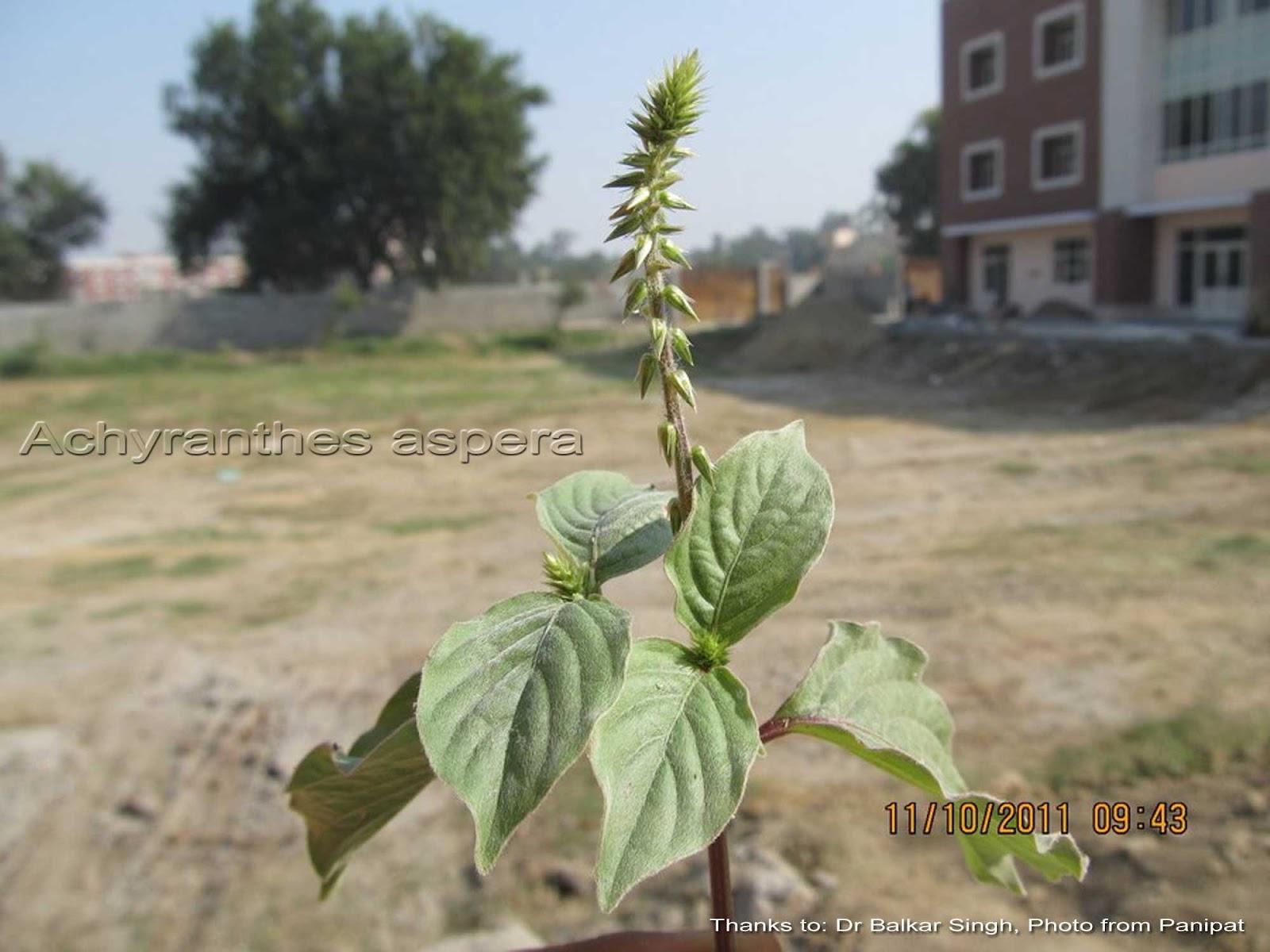 Medicinal Plants Achyranthes Aspera