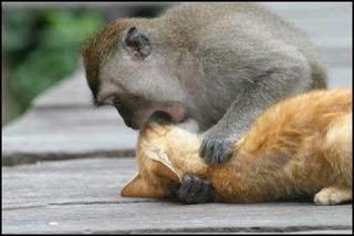gambar monyet merokok - gambar monyet - gambar monyet merokok