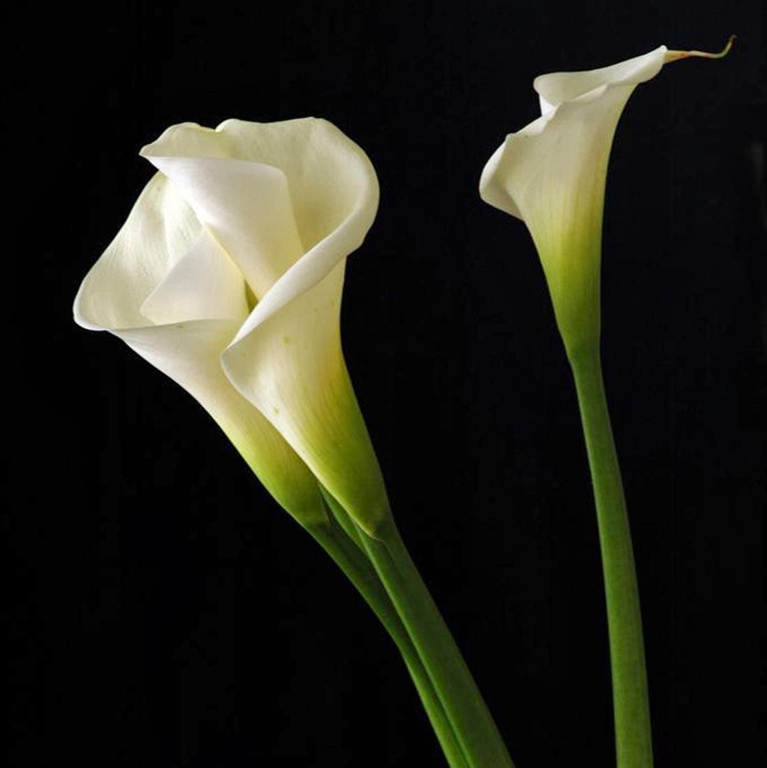 Lets Enjoy The Beauty Calla Lily Flower One Of The Worlds Most