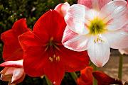 Imágenes de flores y plantas: Amarilis amarilis flor