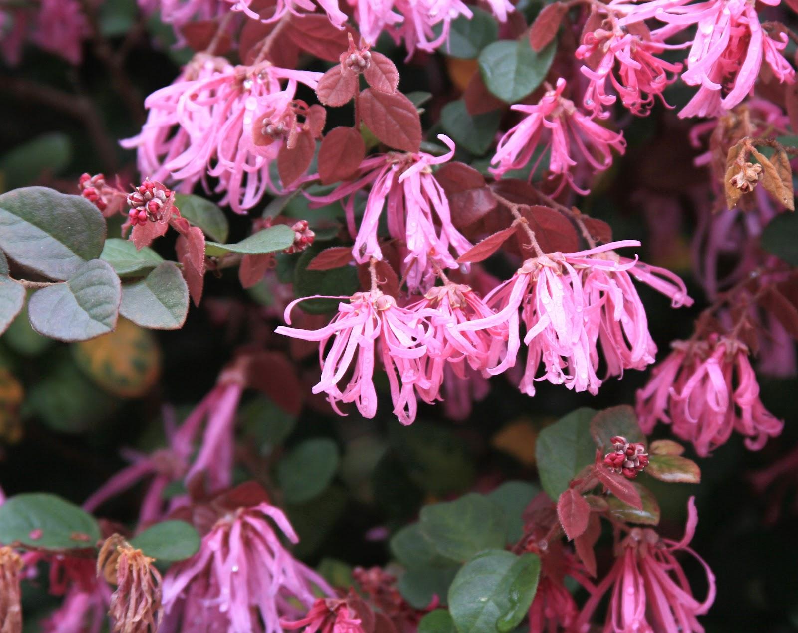 slide 6 7 pink fringe flower l chinense var rubrum usda hardiness zones 7 9