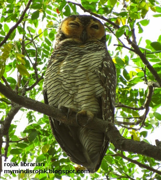 Spotted Wood Owl in Pasir Ris Park