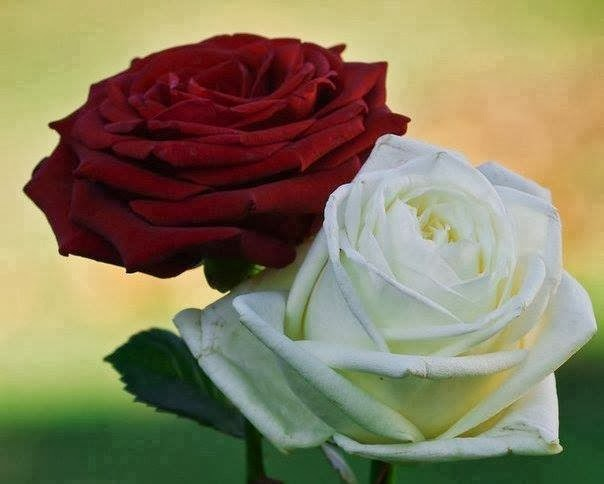 Beautiful Red and White Roses Flowers Images Pictures Wallpapers Free Downloads