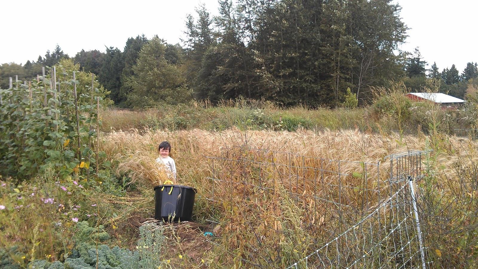Ben\'s Digital Workshop: Growing wheat in a Washington garden.