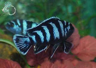 Cá ali xanh vằn