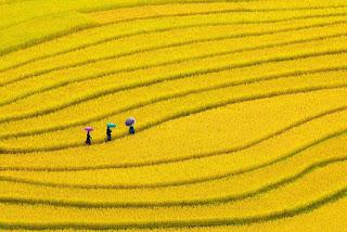 Golden yellow autumn in Mu Cang Chai 1