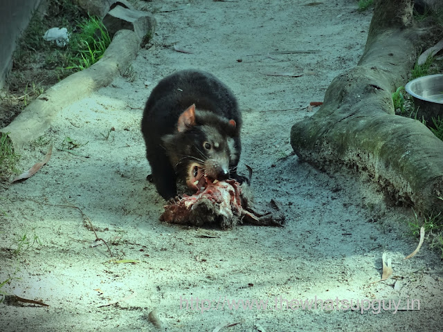 Tasmanian Devil Eating