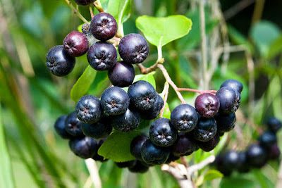 Black Chokeberry (Aronia Melanocarpa) Overview, Health Benefits, Side effects