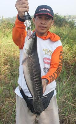 Herman Fishing Guide For Hunting Snakehead  Toman  @ Lampung