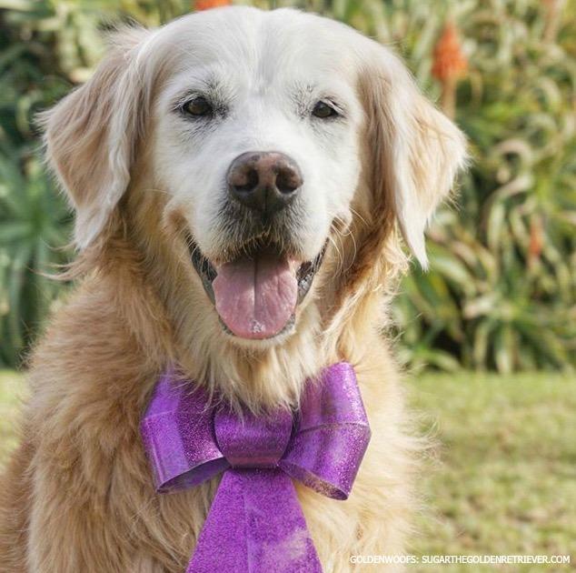 get well smiles for sugar the golden retriever senior dog