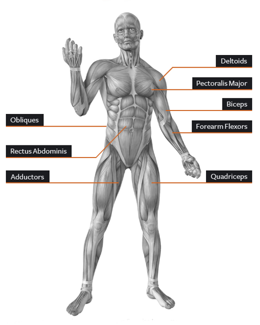 Stray Notes Superficial Muscle Groups Of Human Body