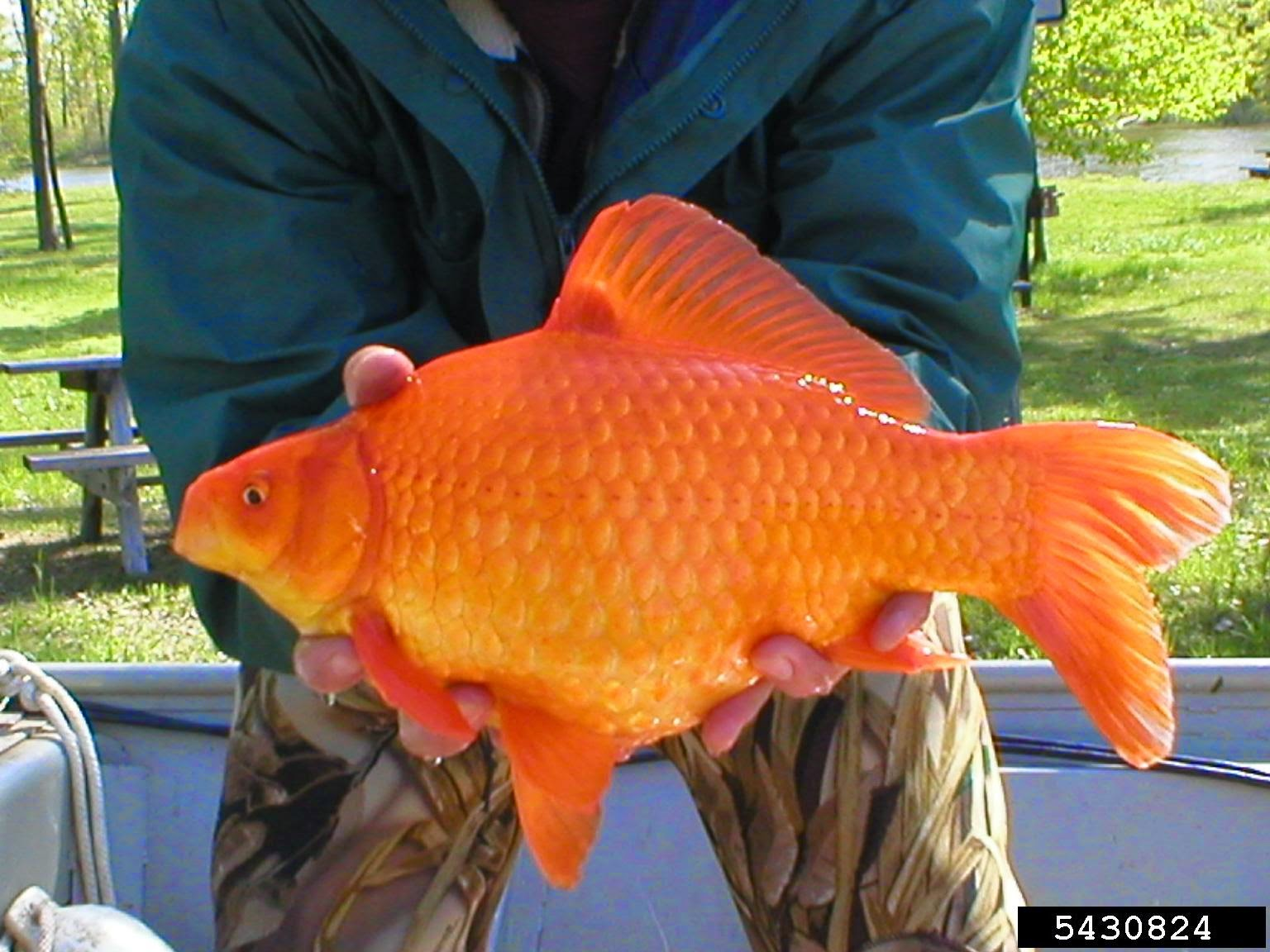 Center for invasive species and ecosystem health for Garden pond fish species