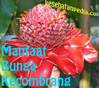 Manfaat Bunga Kecombrang