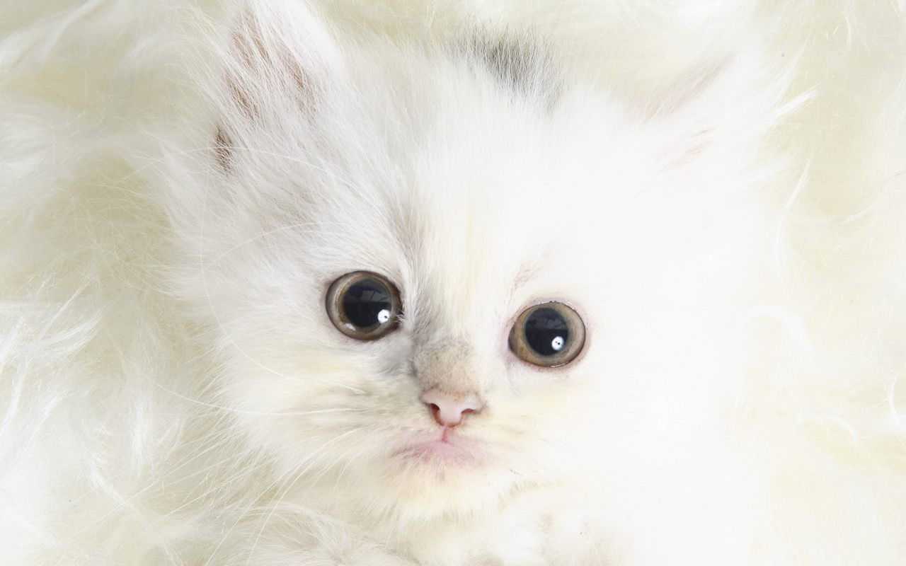 Hotspicy stuuning hd wallpapers cute kittens wallpapers cute white kitten wallpaper thecheapjerseys Choice Image