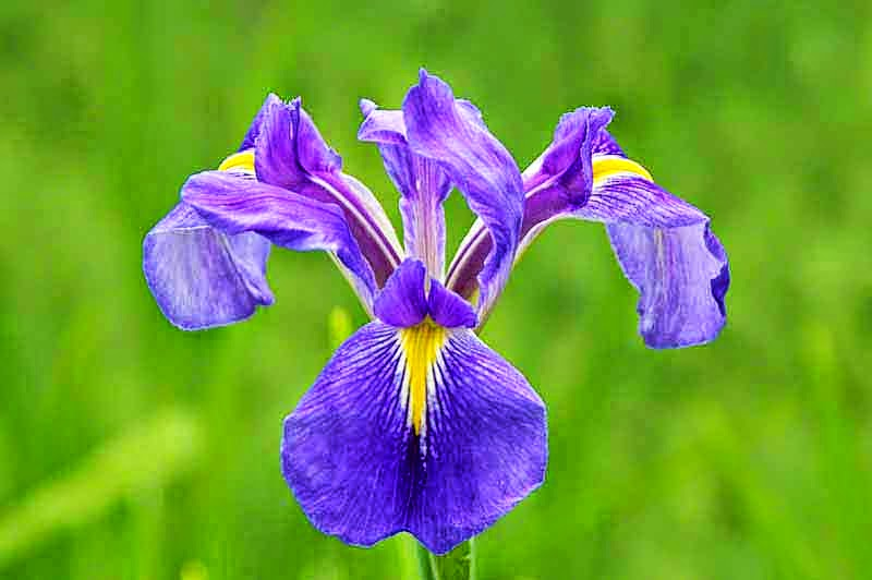 purple and yellow Iris, flower