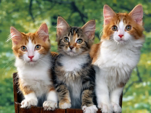 Kucing Lucu Imut
