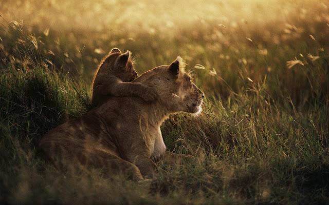 "<img src=""http://4.bp.blogspot.com/-Ldz60YLCaW4/UdvqygC5ahI/AAAAAAAAABo/vXiYygSZOCI/s1600/african_lion-wide.jpg"" alt=""animal wallpapers"" />"