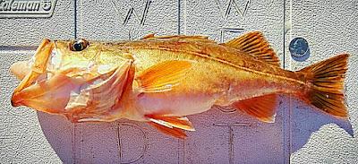 salmon grouper, variety rockfish, Wild West