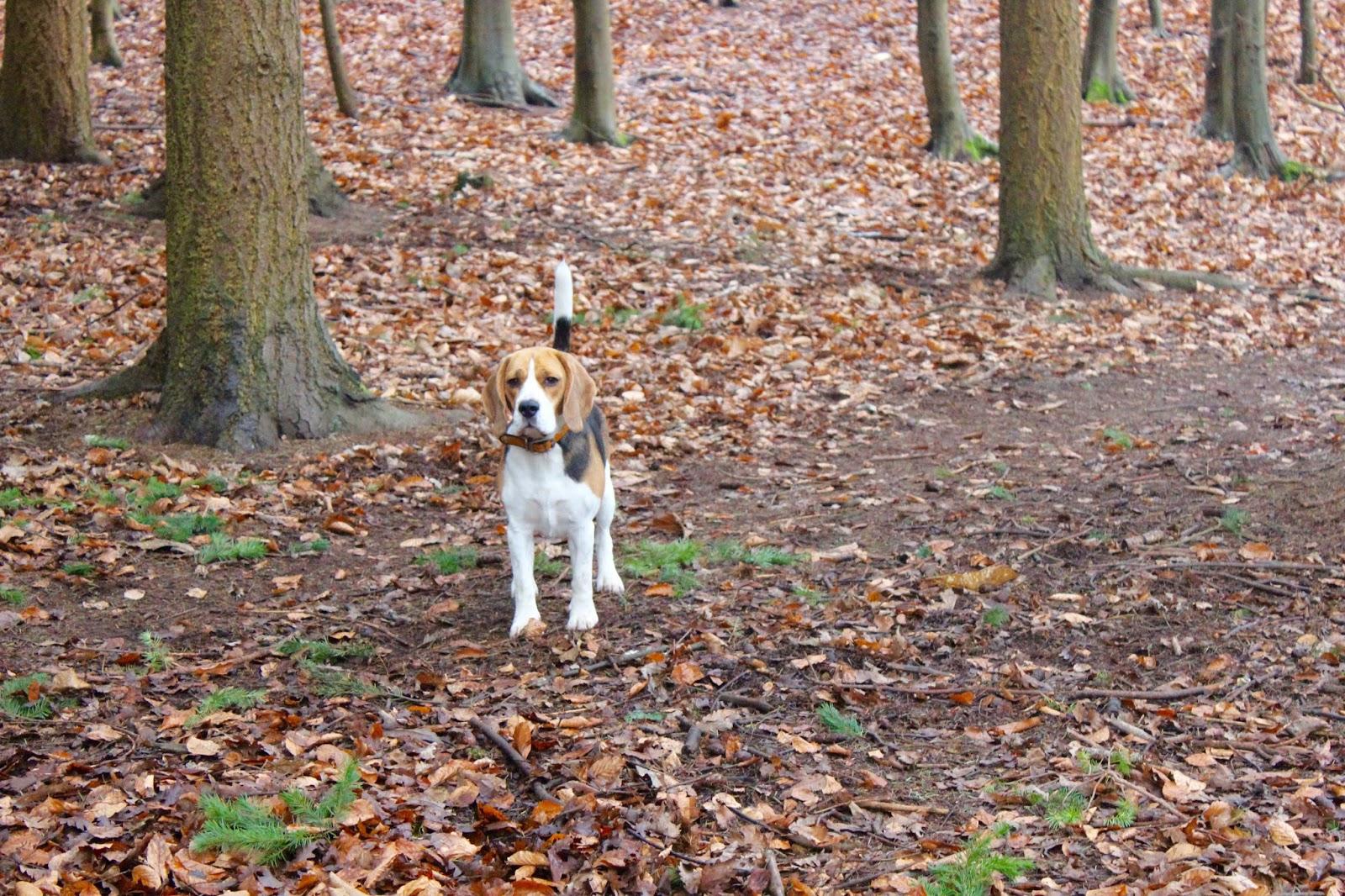 cute beagle winter walk
