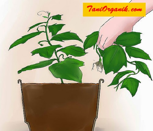 Hanya memilih satu tanaman yang terbaik pertumbuhannya.
