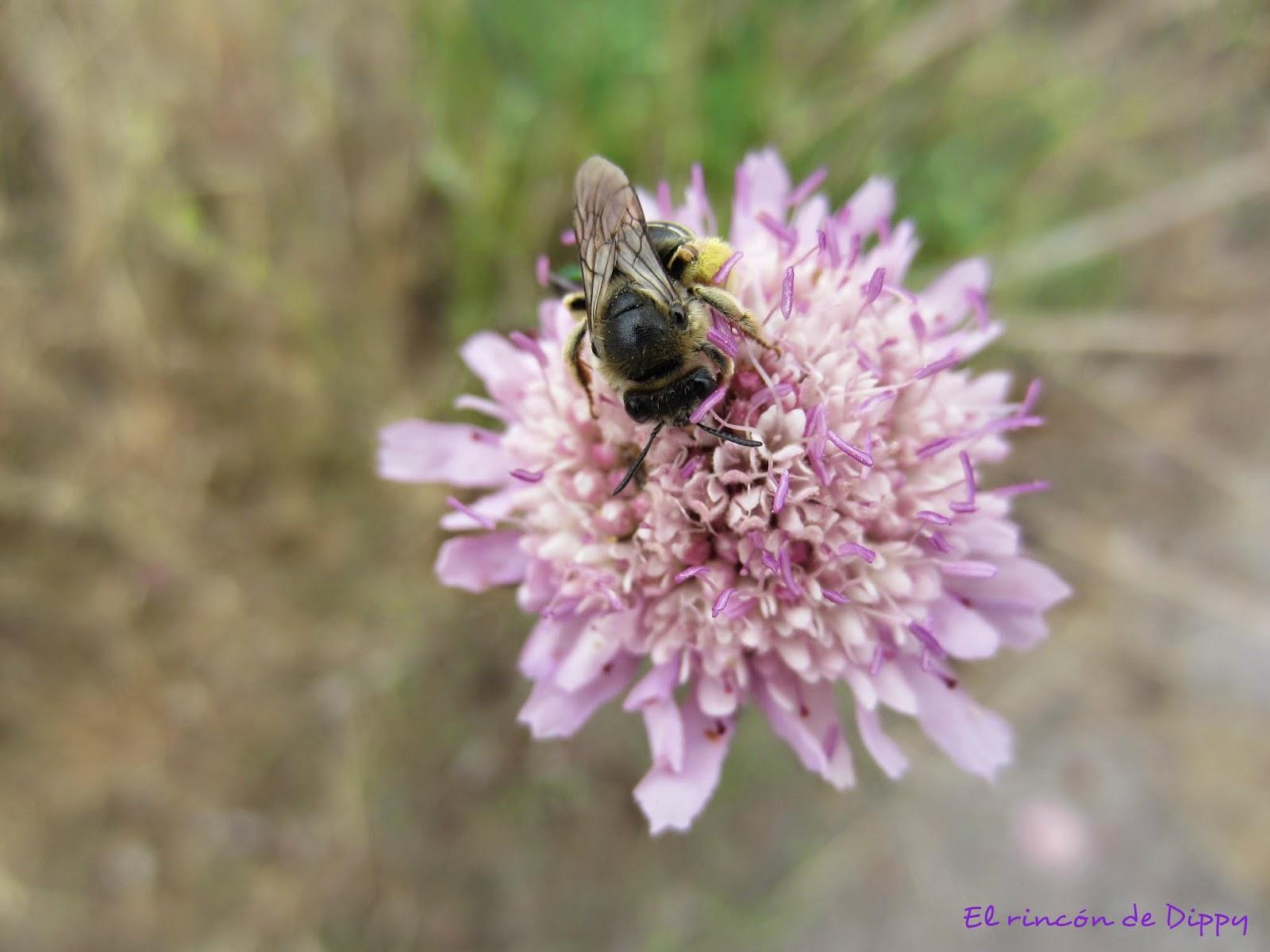 abeja en una flor- proyecto fotográfico de la A a la Z