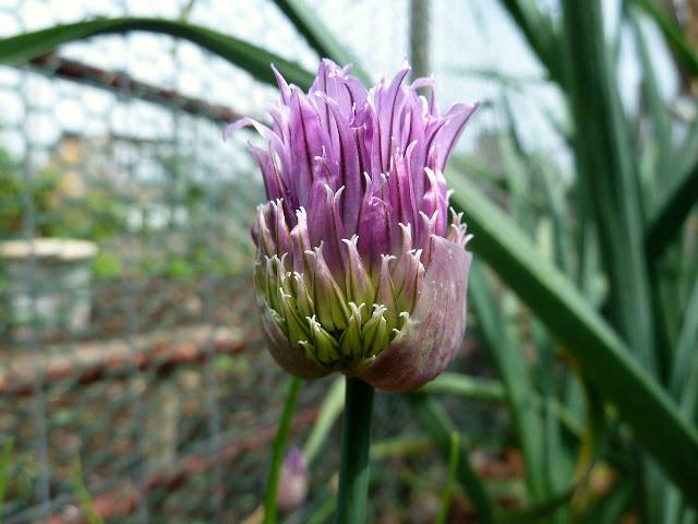 Chive flower opening, Floyd Bennett Field, Brooklyn