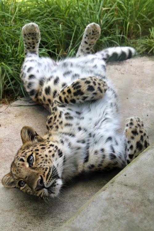 Jaguar Blueiskewl
