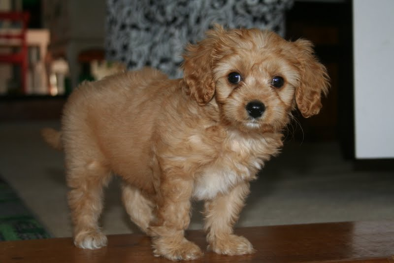 cavoodle puppies sydney dog