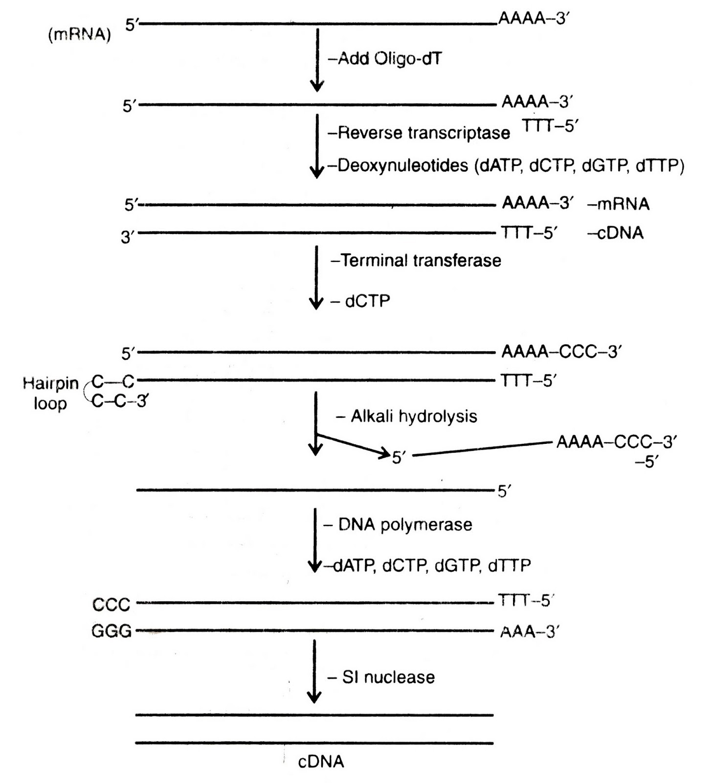 cdna sysnthesis Cdna synthesis & rt-pcr | neb cdna in general is the dna molecule which corresponds to sysnthesis of the corrseponding second strand of a dna.