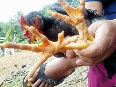 Ayam miliki 10 jari kaki.