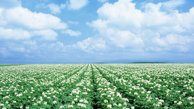 White flower field HD Wallpaper