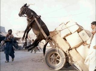 keledai jatuh