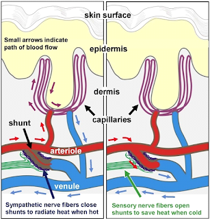 tiny muscular valves, called arteriole-venule (AV) shunts, which form a direct connection between arterioles and venules.