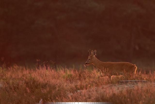 Reebok licht mooi op in het tegenlicht van de ondergaande zon - Backlit Roedeer Buck in the setting sun